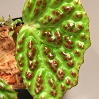 Begonia sp. from Kapuas hulu sumatera