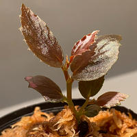 Begonia sp. from Julau [R1214-01b]