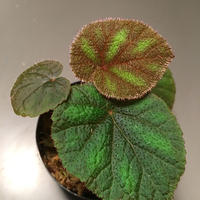 Begonia Versicolor from Chinese