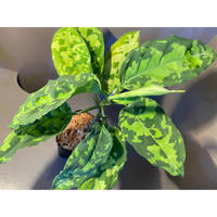 Aglaonema pictum GW1410 from Padang sidempuan [TB]