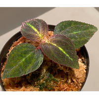 Sonerila sp. from Thailand [Asiatic Green]