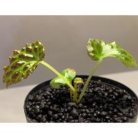 Begonia dracopelta from Borneo