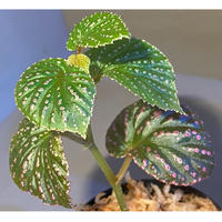Begonia sp. from Saripoi [LA0813-2]