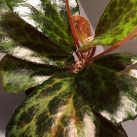 Begonia blancii