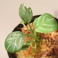 Schismatoglottis chevron from Sarawak