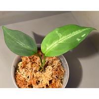"Aglaonema pictum A ""しるば〜らいん"" from Aceh sumatera [LA0918-03ss]"