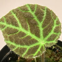Begonia sp. from Sumpur [TK31117]