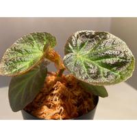 Begonia sp. from Manaus