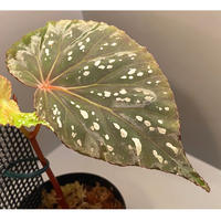 Begonia sp. from Aceh sumatera [LA1115-01T]