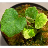 Begonia sp. from Ha Noi [TK140617]