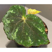 Begonia sp. from North Toraja [S0919-06] STRINGE PLANTS