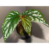 "Begonia sp. ""Matang-3"" from Matang Sarawak [RIO]"