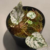 Begonia formosana from Taiwan