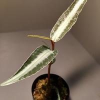 Labisia sp. from Hulu kapuas Kalimantan barat