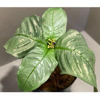 Ophiorrhiza sp. from Selangor [TK]
