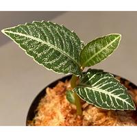 Ardisia sp. from Raub Pahang