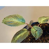 Sonerila calophylla from Tranga Southern Thailand