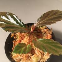 Begonia  sp. from Tawau [TK71116]