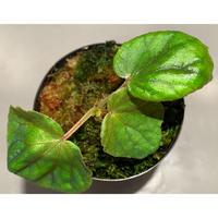 Begonia sinuata