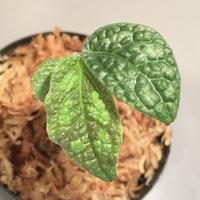 Elatostema sp. (Sri Lanka) ?