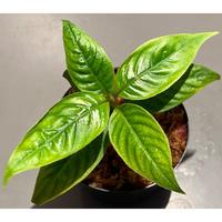 Psychotria cf. elata from Madre de Dios [LA1017-wf1]