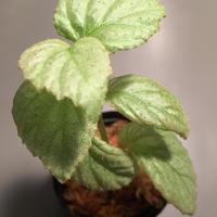 Begonia sp. from Tawau [TK071116]