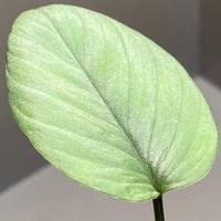 Homalomena sp. from Aceh sumatera [LA1118-03]