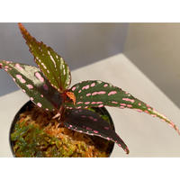 """Begonia sp. """"Menukung"""" Kal-barat [TB]"""