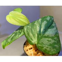 Philodendron sp. from Iquitos Peru [tanakay]