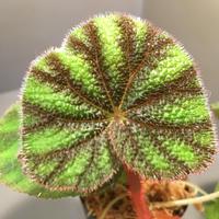 Begonia versicolor from Ha Giang WF1 [YH]