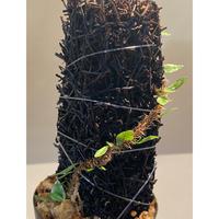 Microgramma vacciniifolia