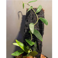 Ficus sp. from Bau