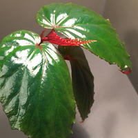 Begonia sp. from Temuyuk Kalimantan barat