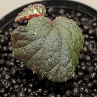 Begonia sp. from Tuyen Quang [YH1117] TK