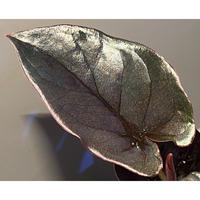 (大株) Syngonium sp. from Choco Colombia [tanakay]
