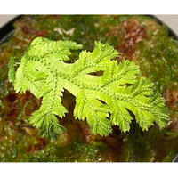 Selaginella biformis [STRINGE PLANTS]