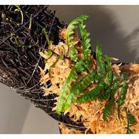 Teratophyllum aculeatum from Nanga pinoh [TB]
