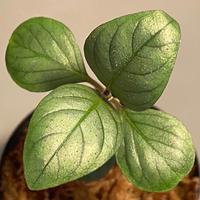 Acanthaceae gen. from Laos [LA]