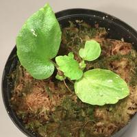 """Begonia sp . """"雪の宿"""" from Lampung sumatera [LA0217-01]"""