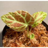 Begonia sp . from Sumpur [TK031117]