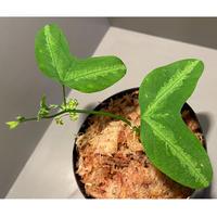 Passiflora apetala from Costa Rica