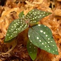 Sonerila sp. wf1 from Phang Nga Thailand [KZT]