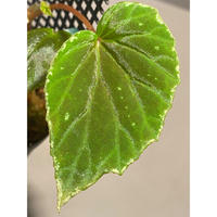 Begonia sp. from Sulawesi
