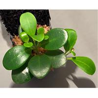Pachycentria glauca from Borneo