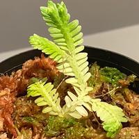 """Selaginella sp. バリエガータ from """"Nanga pinoh"""" [TB]"""