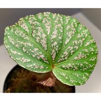 """Begonia sp. from """"Kayu lapis"""" Kalimantan barat [TB]"""