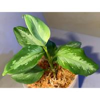 "Aglaonema pictum ""コメットテール"" DB1410 from Sumatra barat [TB]"