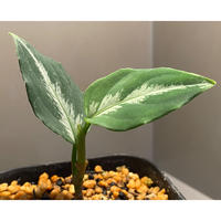 Aglaonema pictum bicolor [TK]