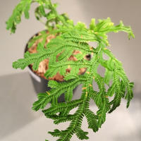 Selaginella biformis [STRINGE PLANTS]