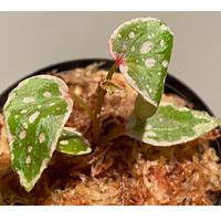 Begonia sp. from Tawau [TK071116-2]